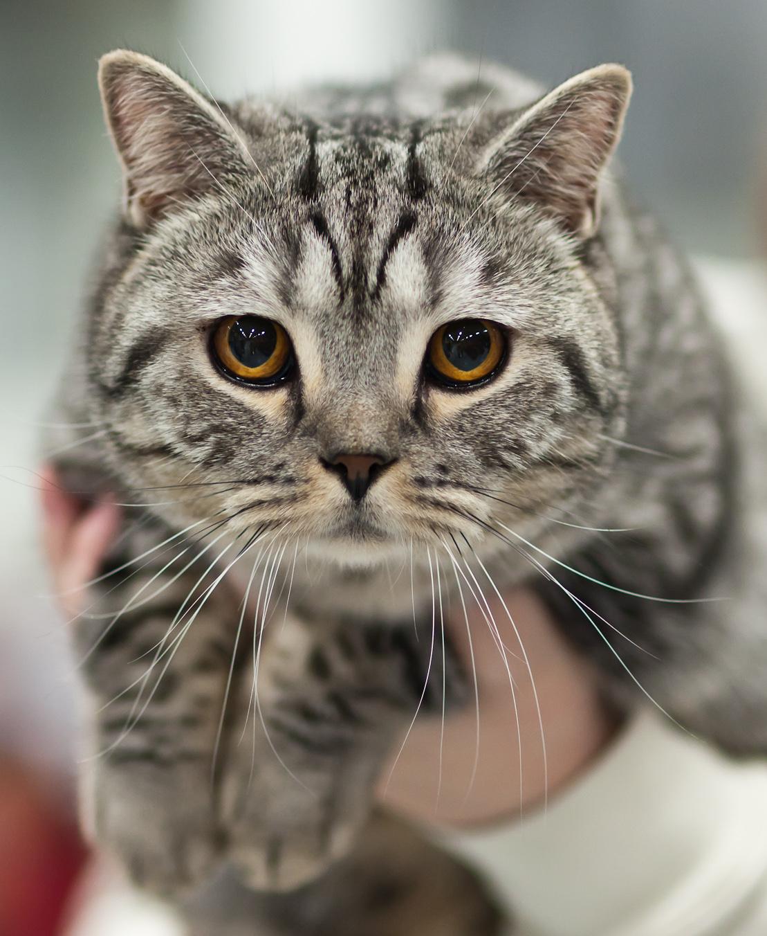 Фото кота - британская короткошерстная кошка