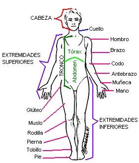 BIOLOGA 2do PRINCIPALES REGIONES DEL CUERPO HUMANO