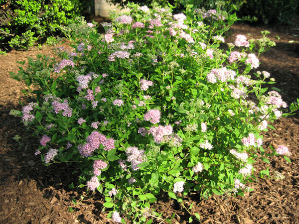 A guide to northeastern gardening feature spring flowering shrub spirea - Blooming shrubs ...