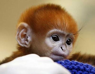 год обезьяны 2016