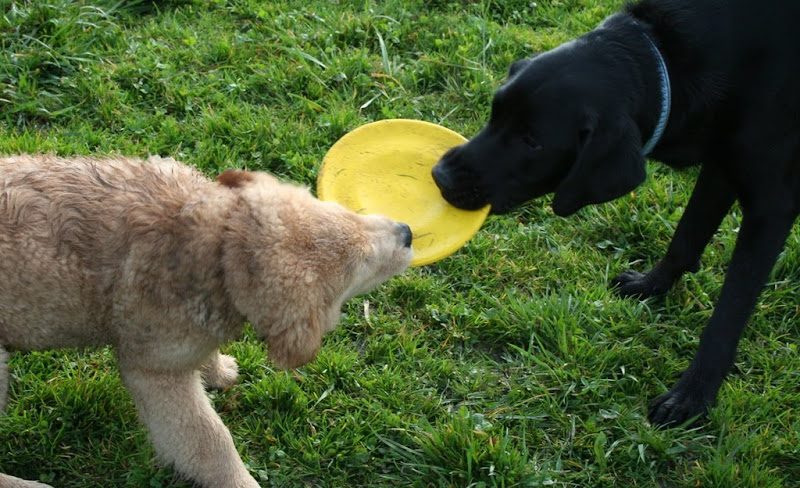 small fluffy golden retriever puppy trying to pull the yellow frisbee away from dagan