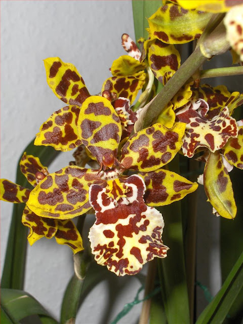 Odontoglossum hybrid (Cambria) in pot, flower detail