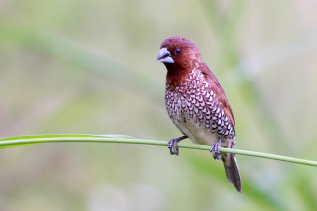Scaly-breasted Munia (Lonchura punctulata)