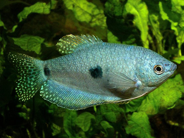 List of freshwater fish beginning with b animals name a to z for Freshwater fish list