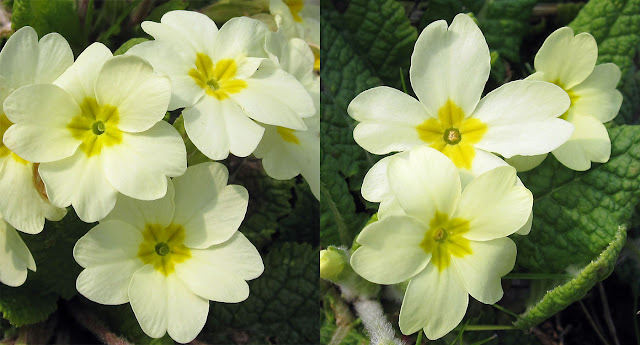 Pin-eyed and thrum-eyed primroses on &quot;Primrose Bank&quot; off Cudham Road.   29 March 2011.
