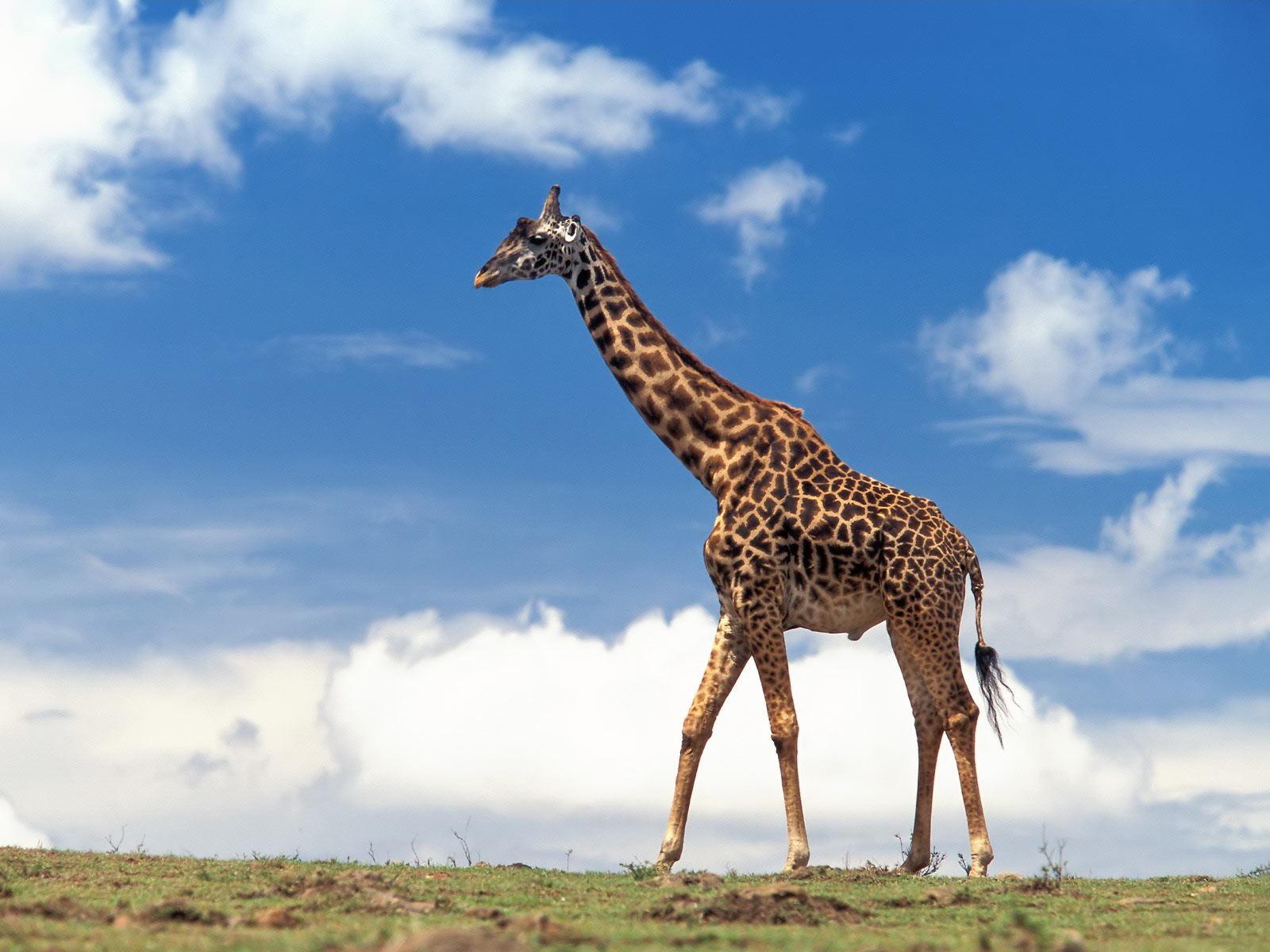 http://3.bp.blogspot.com/-v42R8FlcDIQ/T2Qw-lG1LiI/AAAAAAAABvw/kHDyhguu0mw/s1600/giraffe+19.jpg
