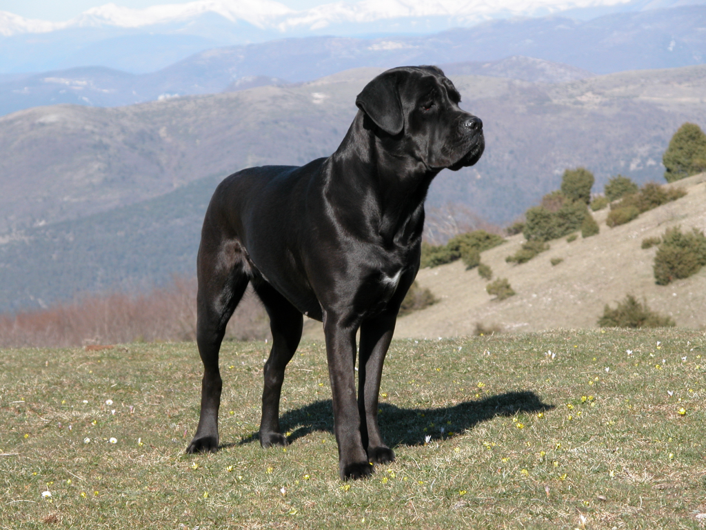 Saved By Dogs Cane Corso Italiano The Smaller Italian