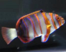 harlequin tuskfish wrasse
