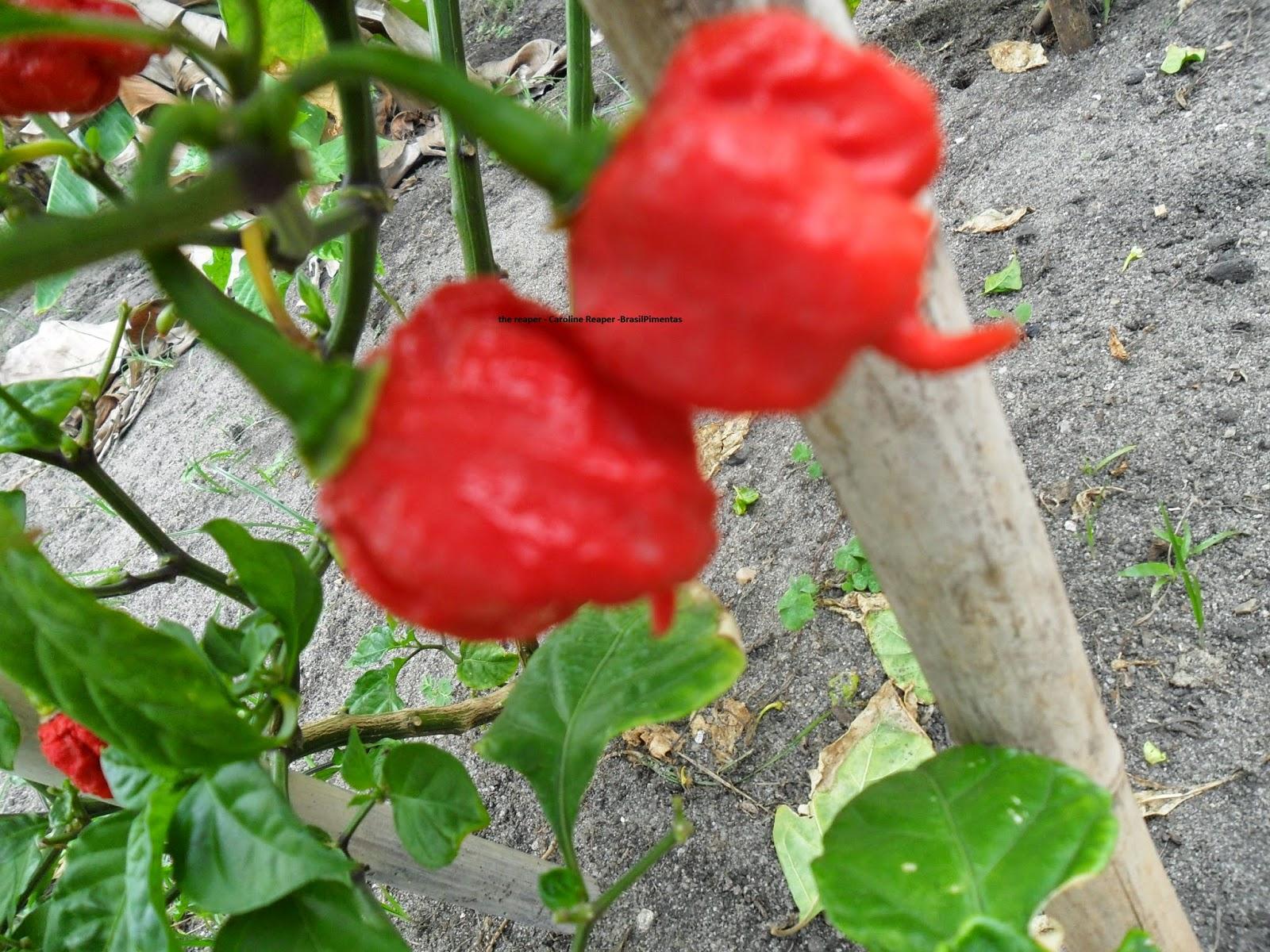 Каролинский жнец выращивание 59