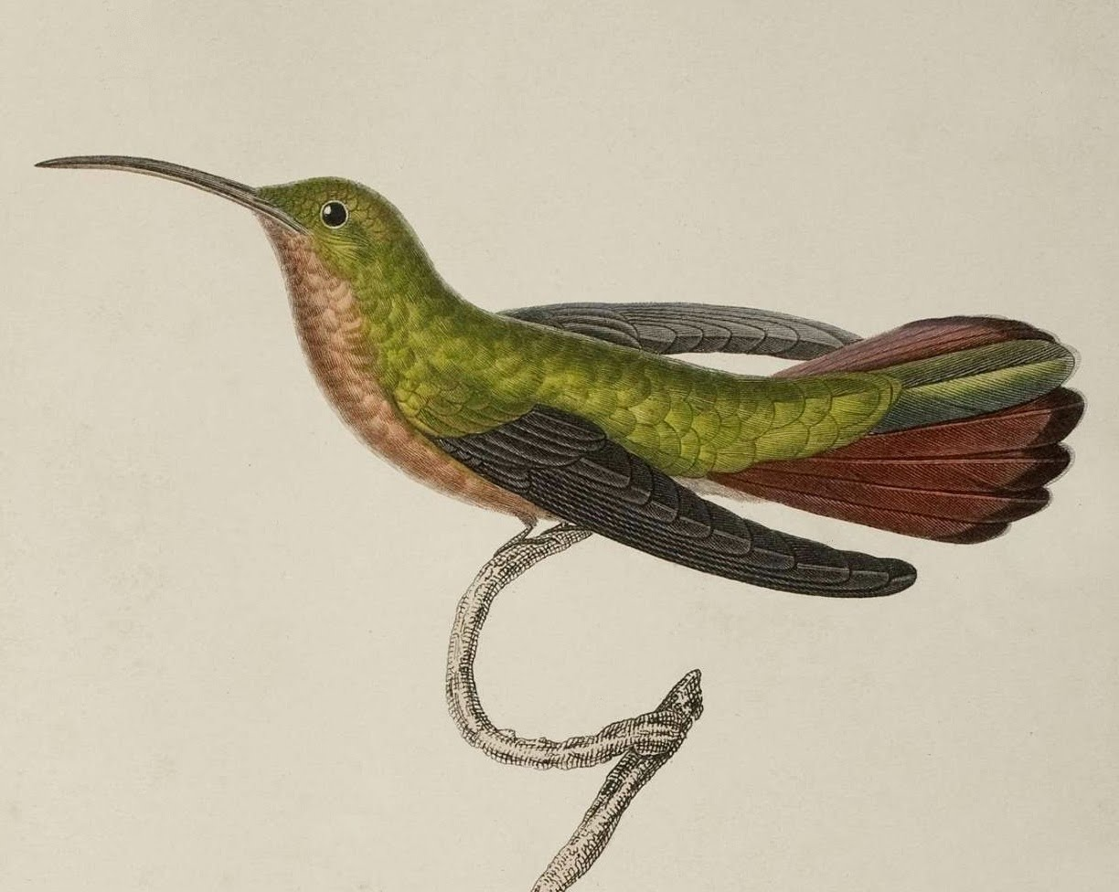 resting hummingbird in tree : 1832 sketch