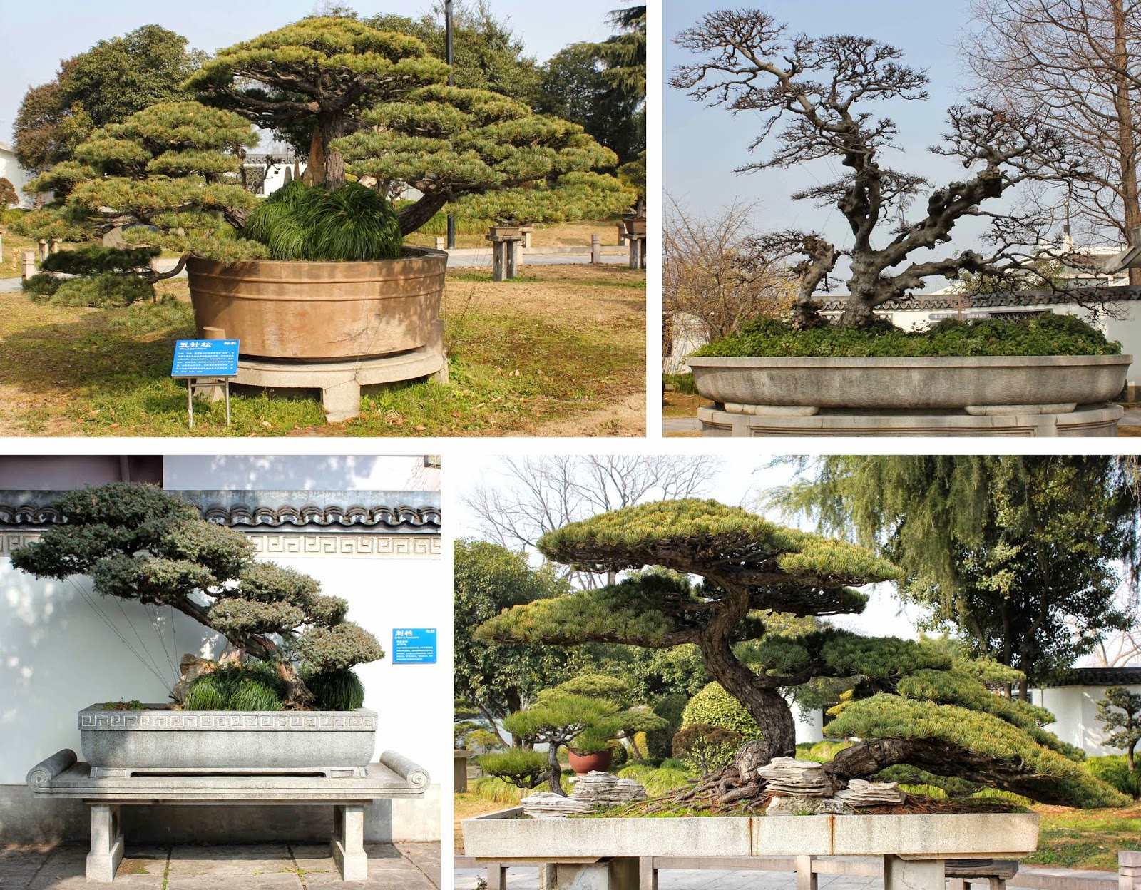 Kigawa39s Bonsai Blog Penjing Garden At Shanghai Botanic Gardens