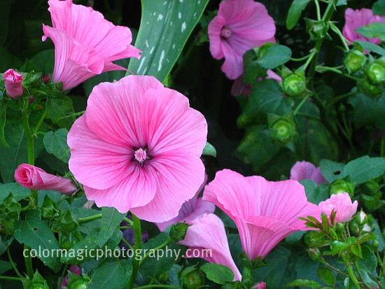 Pink Rose Mallow-close up