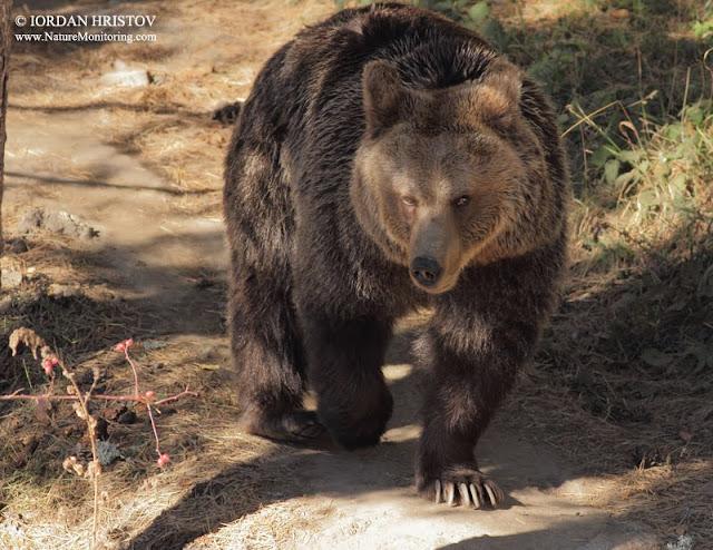 Bear watching in Bulgaria