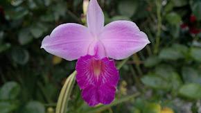 Orquidea da Terra