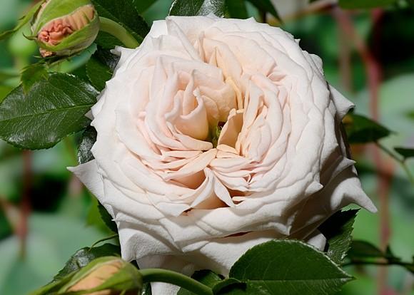 Creme Caramel rose сорт розы фото