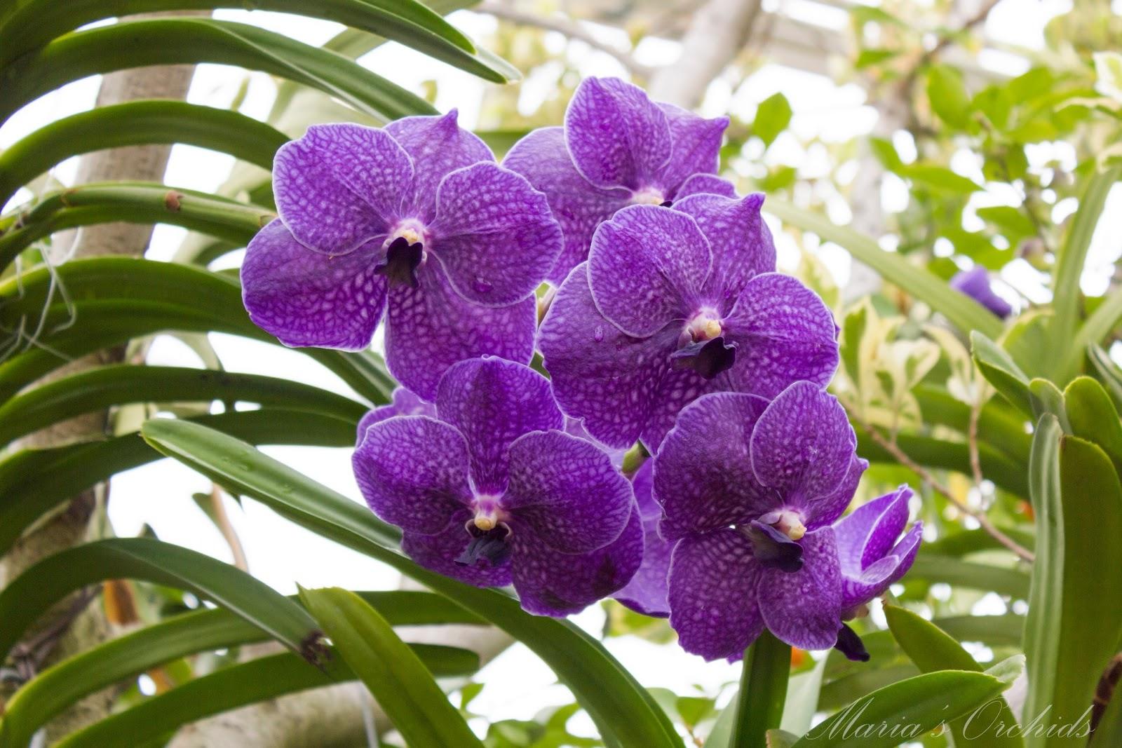 Maria 39 s orchids new york orchid show 2013 vandas - Vanda orchid care ...