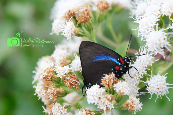 Great Purple Hairstreak, Butterfly, Government Canyon State Park, San Antonio Photographer, RAW Artist