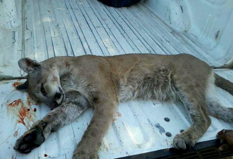 e4812296f4a5 La Profepa investiga el caso de un joven puma abatido por policías en  Jalisco