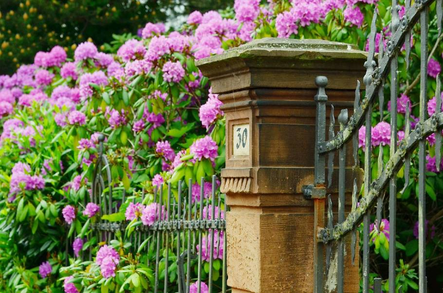 Flowery Fences, rhododendron fence