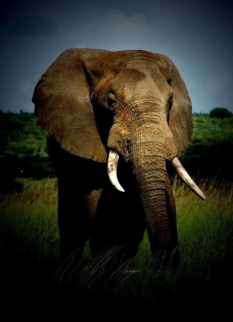 African bull elephant, Tarangire