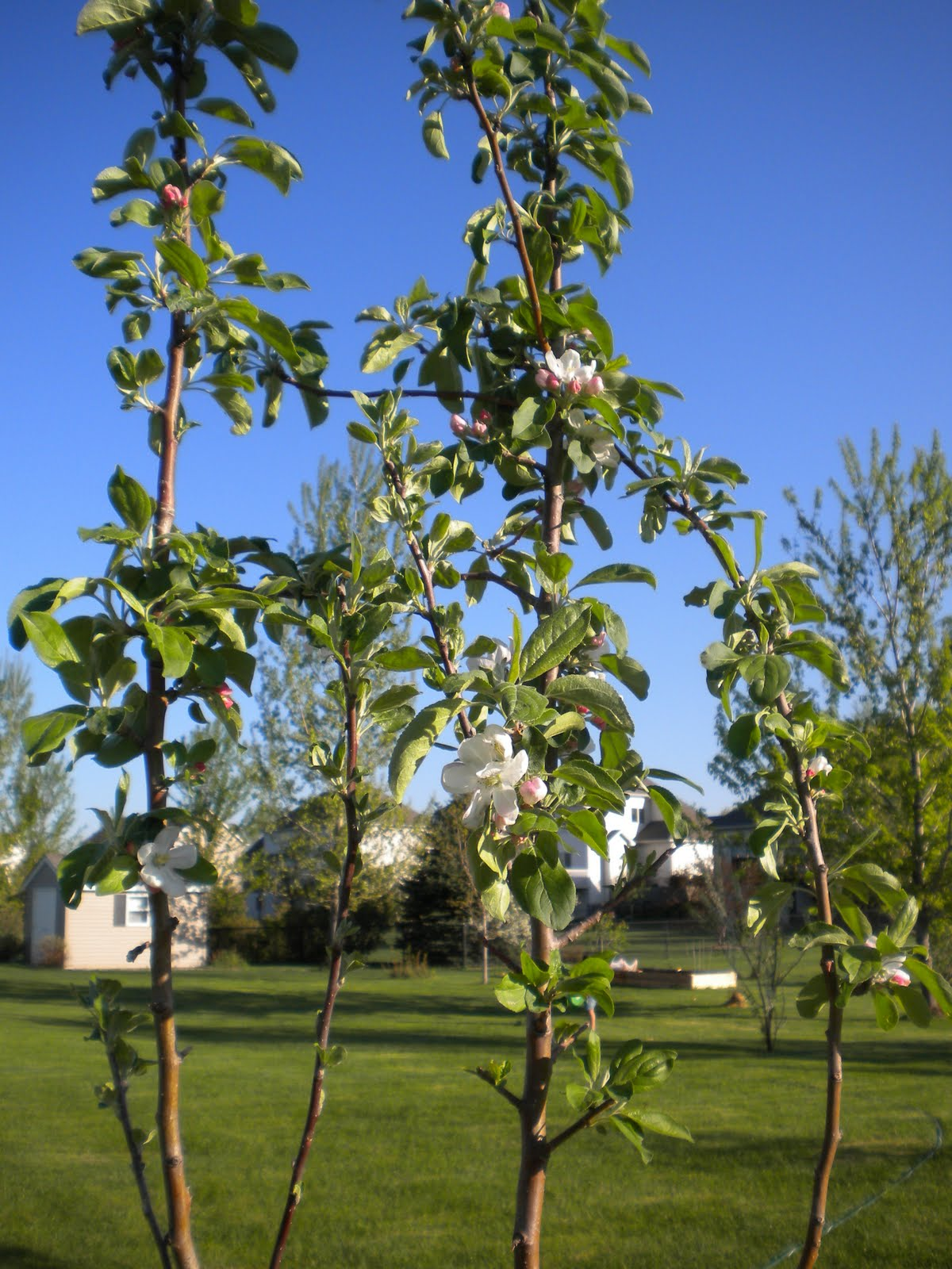 Zestar  apple tree blooming for first time Zestar Apple Tree
