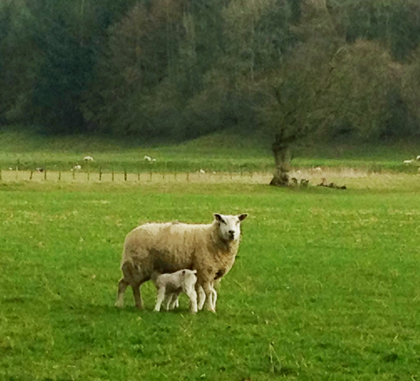 Spring Lambs in the Tyne Valley
