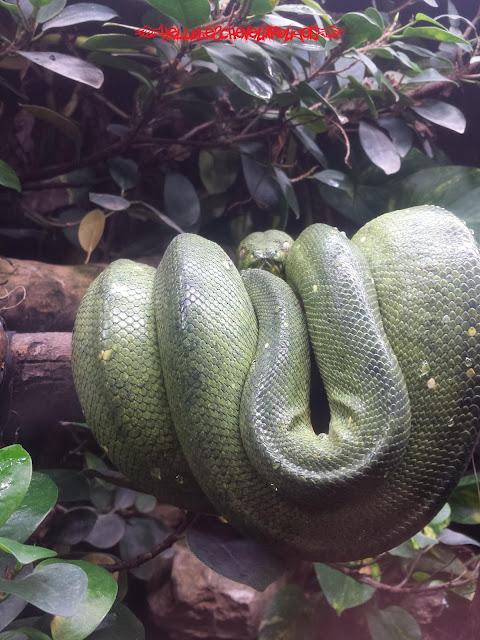 Serpent vert enroulé à une branche à Touroparc