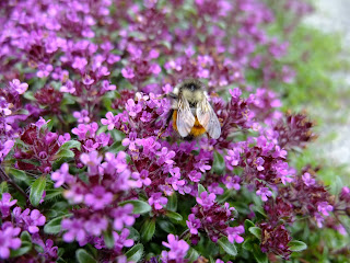 Bee attractive sage ground-cover- Quadra island