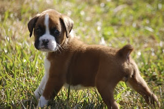 Boxer Puppies Picture