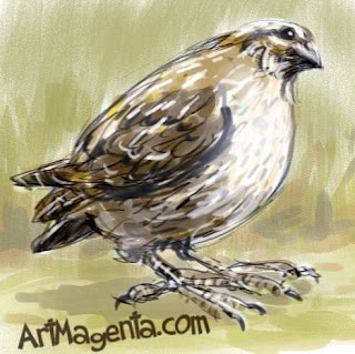 Common Quail is a bird sketch by ArtMagenta