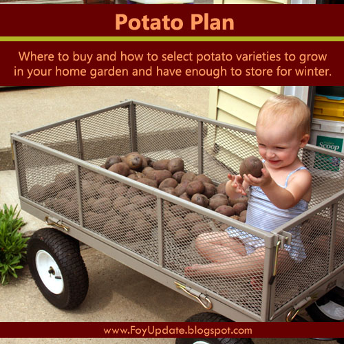 How to select potato varieties for the home garden and how much seed potato to buy to grow enough to store for winter. From Foy Update