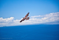 Soaring Galapagos Hawk