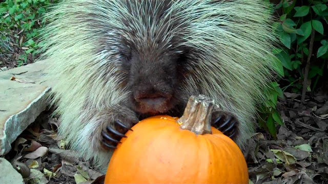 Teddy Bear The Porcupine Tells Us All About Eating A Pumpkin (Videos)