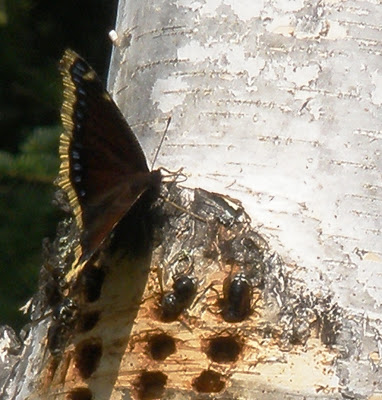 Mourning Cloak and bees