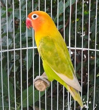 gambar aneka jenis burung lovebird