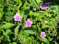 田んぼの土手に咲く可愛いゲンノショウコ。