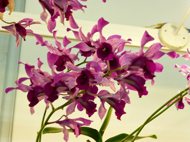 purple-dual-tone-orchids