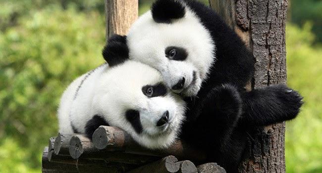 Panda Fu Wa dan Feng Yi tiba di Kuala Lumpur