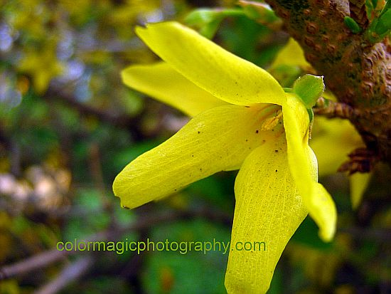 Forsythia-closeup photo
