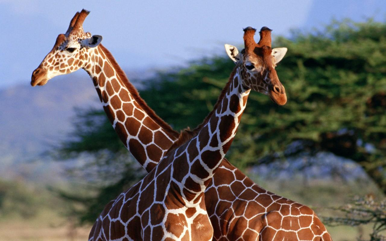 Amazing African Animals: The Tallest Amazing Giraffe