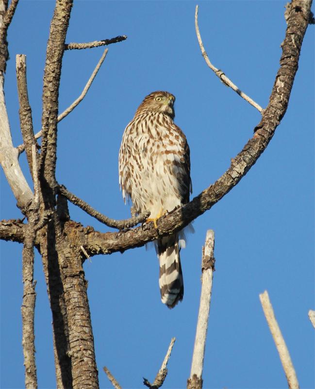 BirdCam on Cheltenham: Immature Broad-winged Hawk