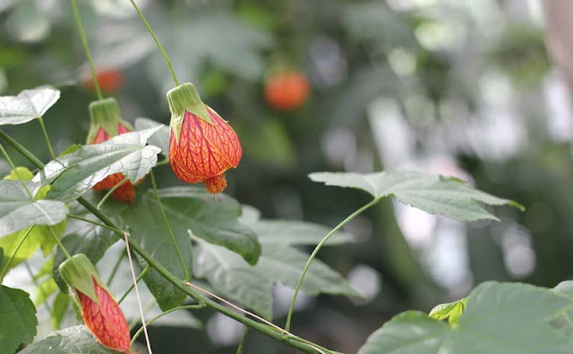 Flowering Maple Flowers Pictures