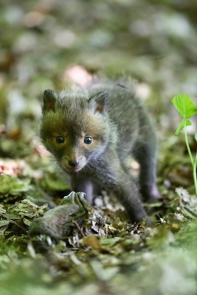 características, alimentação, reprodução e distribuição da Raposa (Vulpes vulpes).