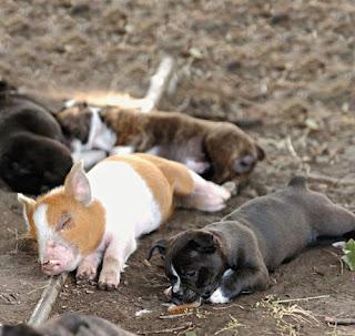 Foto Babi dan Anjing Mesra