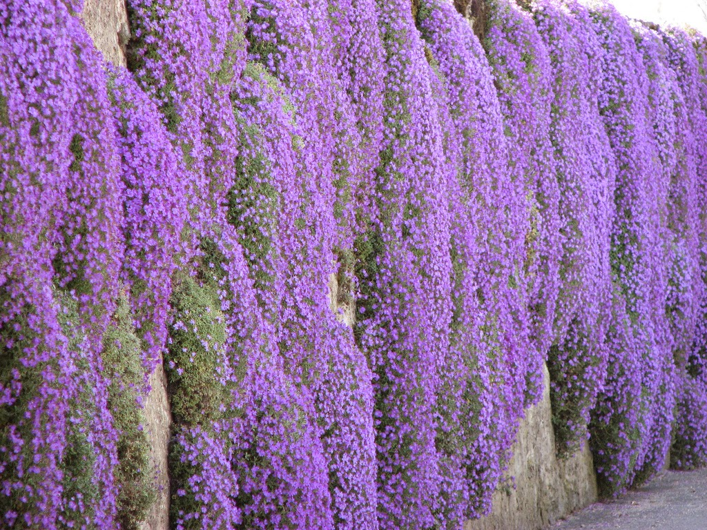 Puutarha Be In Surance Campanula Plant Care Instructions And Some