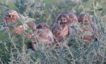 Burrowing Owls (parent + 4)
