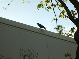 A blackbird sitting on a wall in Paris, France
