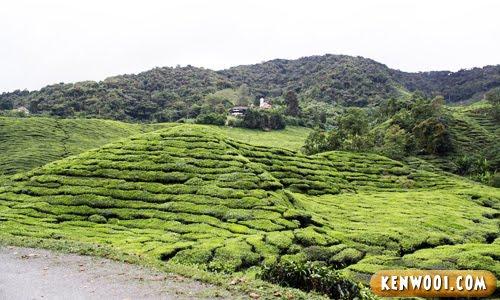 cameron highlands green tea