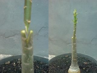 Sambung Grafting Adenium