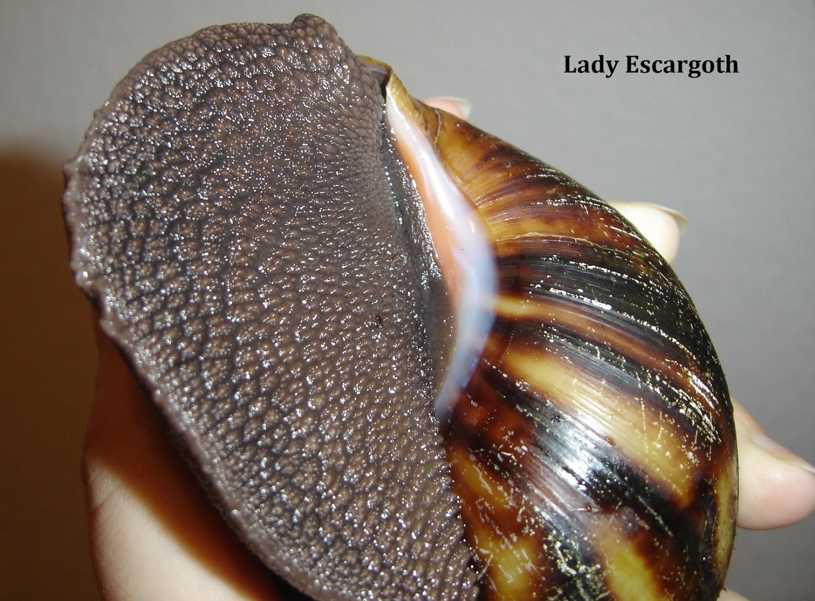 columelle archachatina marginata ovum abricot